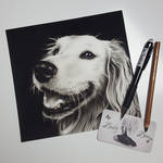 Happy Golden Retriever with charcoal