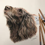 German Longhaired Pointer named Sally