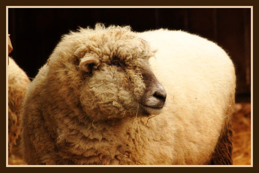 Sheep Profile by VBeaudryPhotography on deviantART