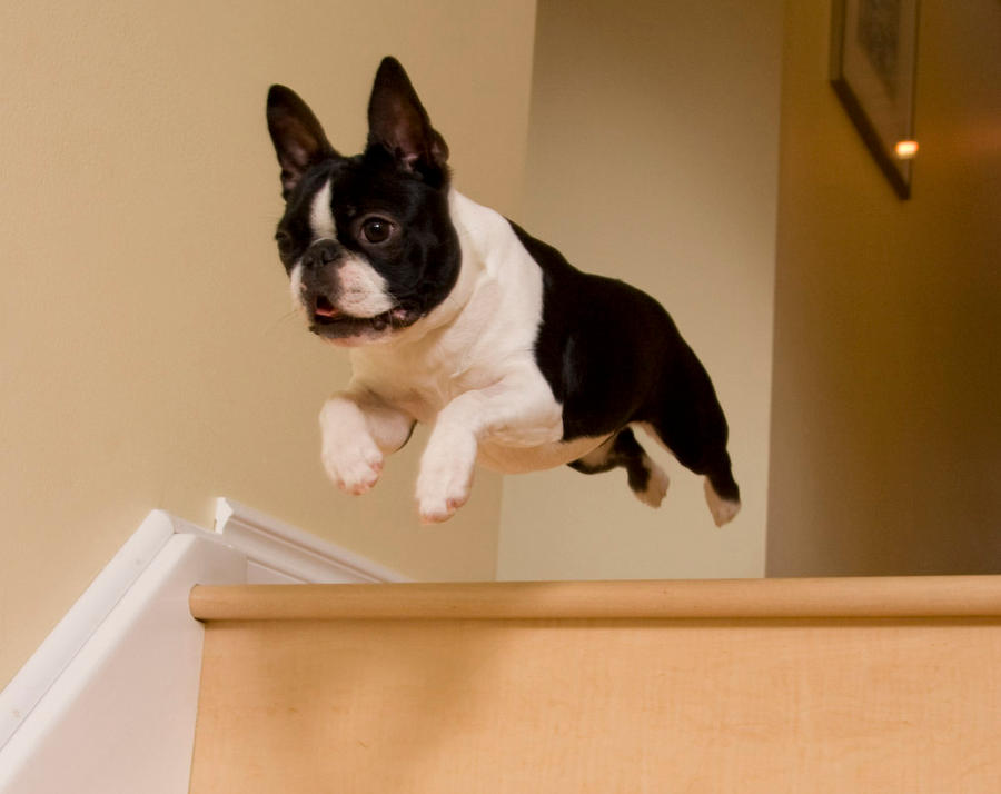 Boston terrier flying by kaieleigh on deviantart