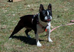 Boston Terrier - Focesed