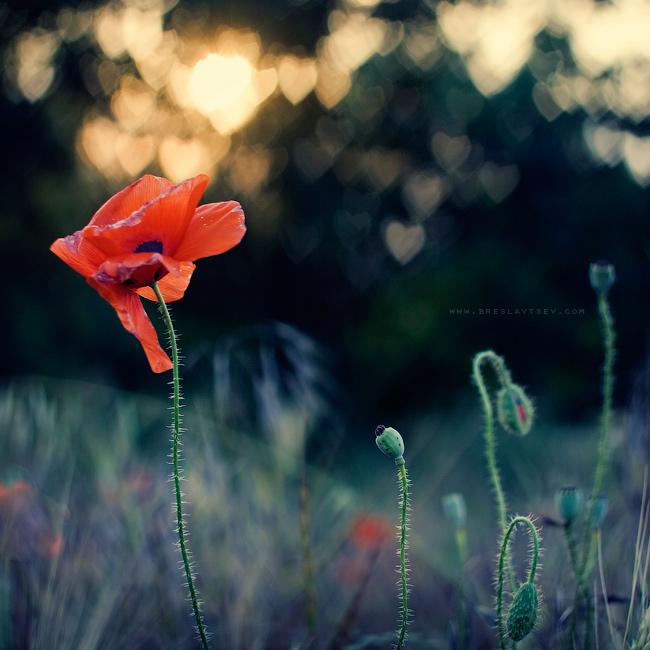 ...poppy... by OlegBreslavtsev