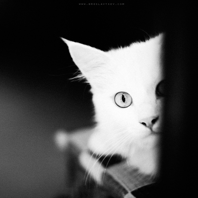 ...white cat... by OlegBreslavtsev