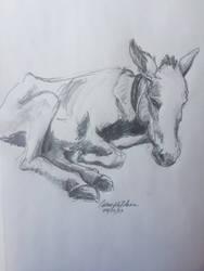Reclining Donkey -Antigua's Donkey Sanctuary - Aug by Cwmm