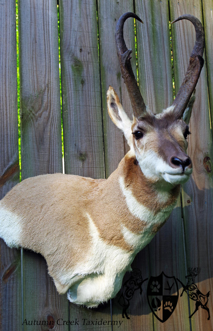 Pronghorn Antelope 1 by AutumnCreekTaxidermy