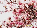 Magnolia Blossoms by plopinmehchairandraw