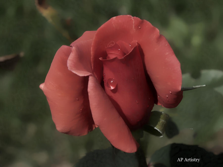Water Drops On Rose by...