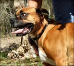 Boxer Dog 001 by AmberMurphy