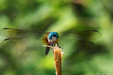 .dragonfly. by teresa-lynn
