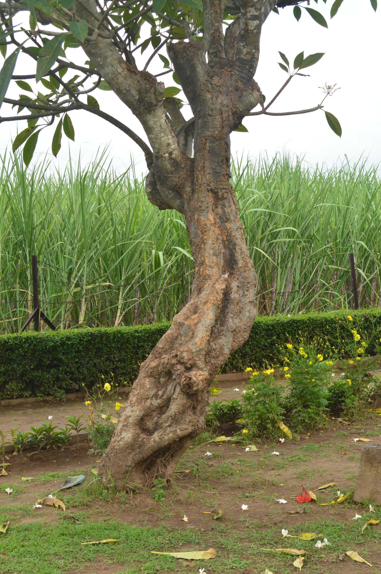 Frangipani Tree1 By Adipancawh