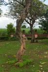 Frangipani Tree2 By Adipancawh