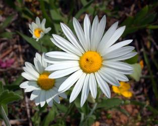 Asteraceae: Aphanostephus pilosus by Eliasome