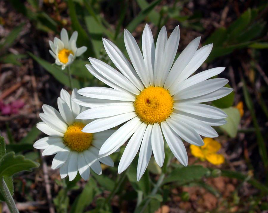 Asteraceae: Aphanostephus pilosus