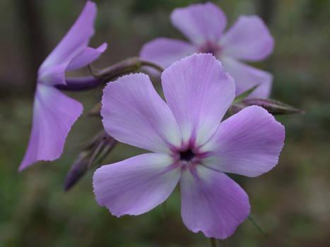 PHPI: Lavender Dreams
