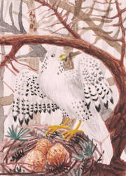 ACEO Gyrfalcon with a nest, redraw from march 2019 by Axic0n