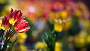 Nawak Tulip Wallpaper