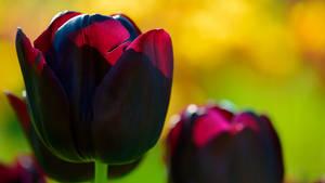 Black Tulip Wallpaper