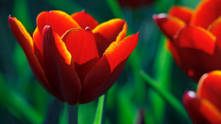 Nawak Tulip Wallpaper 2