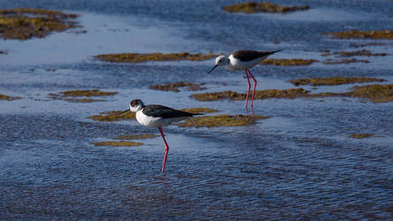 Black-winged Stilt Wallpaper