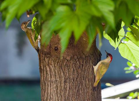 Green Woodpecker Couple