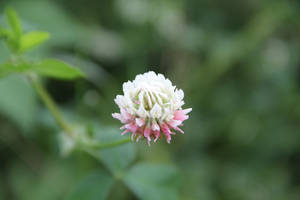 Clover by Russell1580