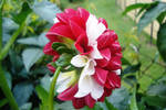 Red and white flower I
