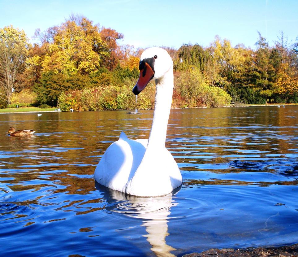 white swan by Polin-Sam