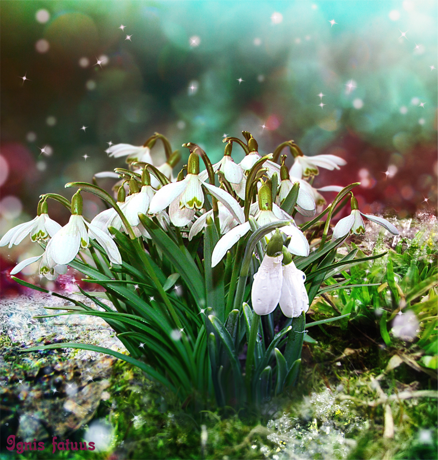 Snowdrops by IgnisFatuusII