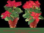 Christmas star-flowers-stock.