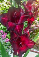 Gladiolus by IgnisFatuusII