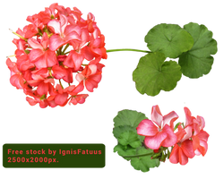 Geranium-Free Stock by IgnisFatuusII