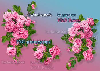 Pink roses exclusive stock by IgnisFatuusII