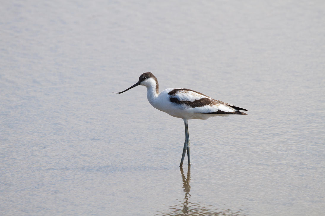 Avocet by parallel-pam
