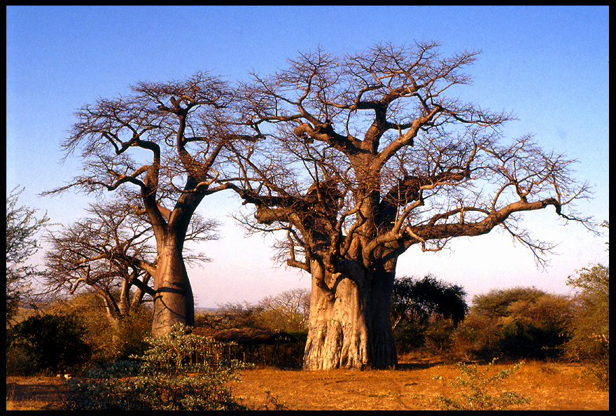 Trees: Scary Baobabs by parallel-pam