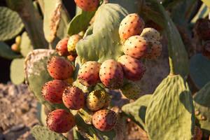 Fruits of the desert