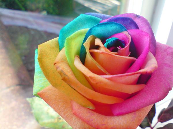 UN DESCANSO EN EL CAMINO - Página 2 Rainbow_Rose_by_photografever