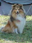 Fluffy sheltie