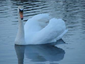 Evening swan by Cyklopi