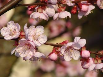 Spring beauty by Cyklopi