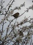 April sparrows