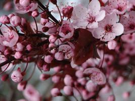 Pink sakura by Cyklopi