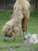 Baby camel and his mom by Cyklopi