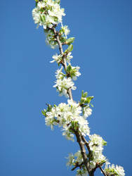 Blue sky, white flowers by Cyklopi