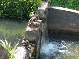 Those dam ducks by Cyklopi
