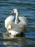 Swan elegance by Cyklopi