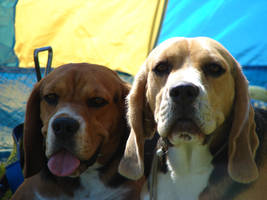 Beautiful beagles by Cyklopi