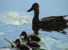 Mallard family by Cyklopi