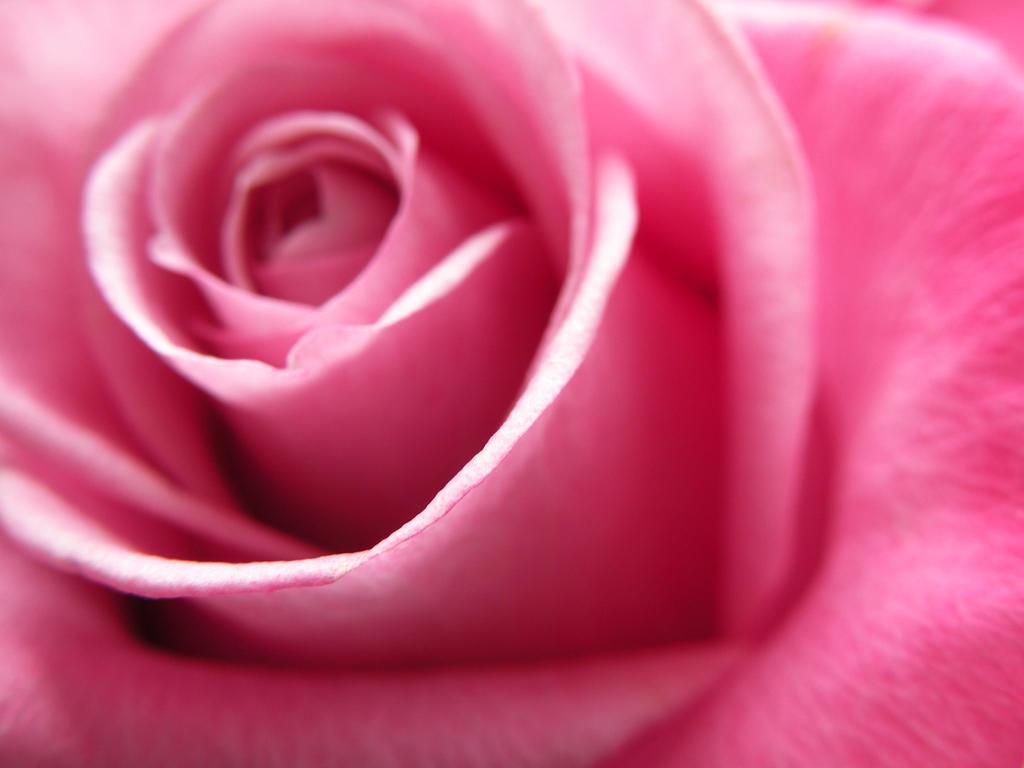 Rose by Kumiko7