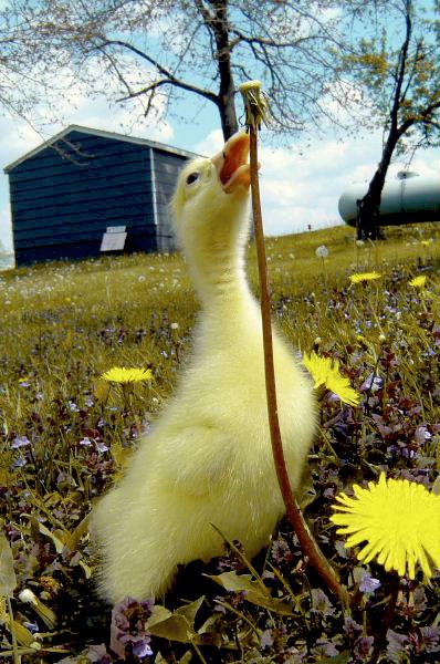 My Ducky Duck Duck by alba88