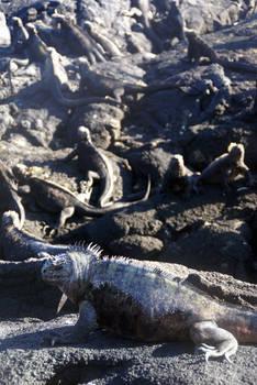 Galapagos Iguanafest